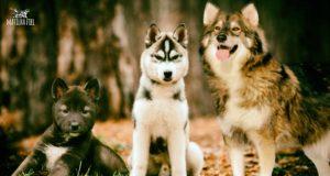 cachorro-lobo