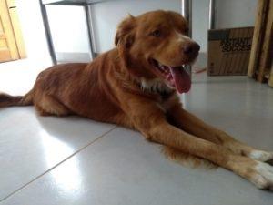 George - Golden Retriever Pitbull