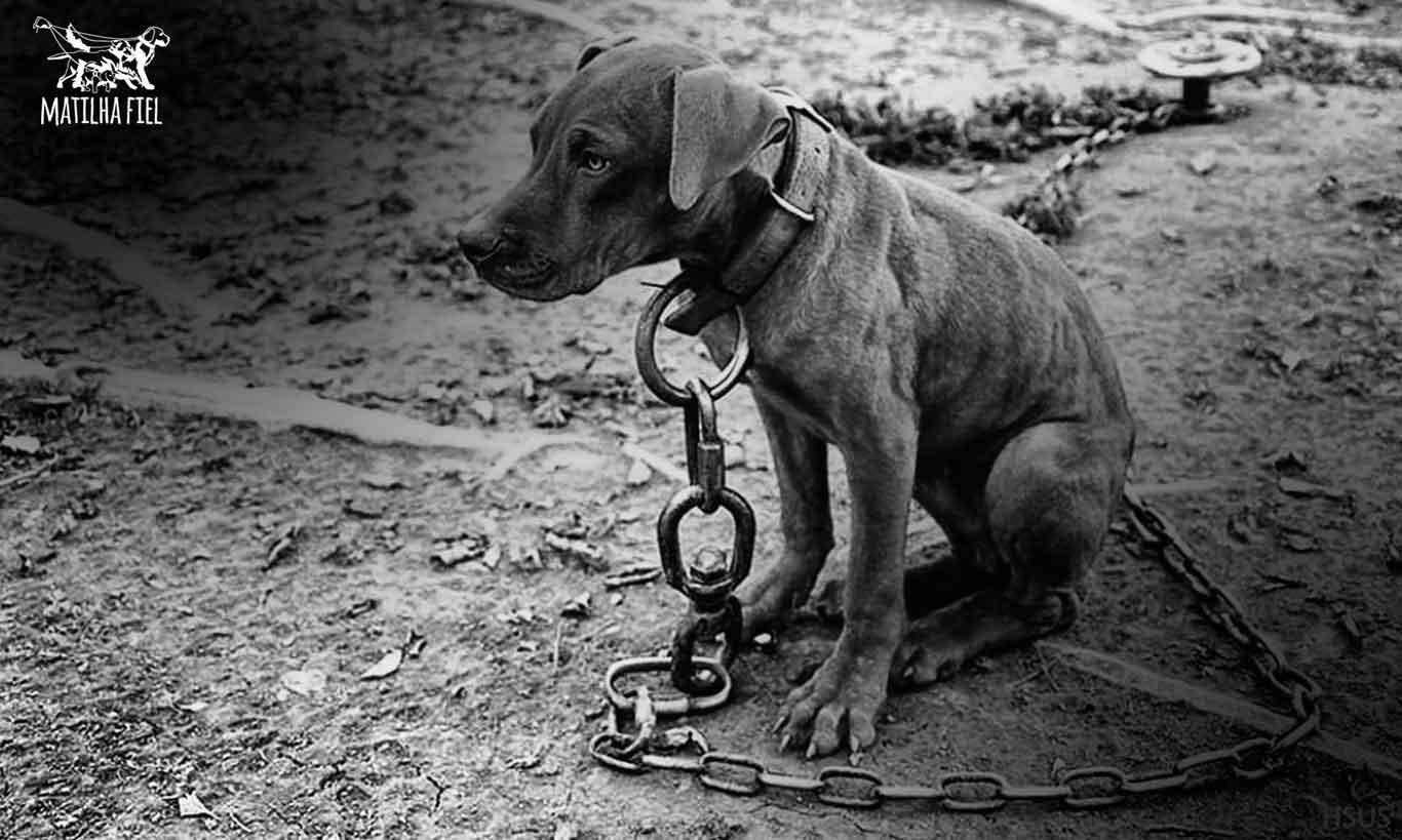 Lei proíbe deixar cachorros acorrentados