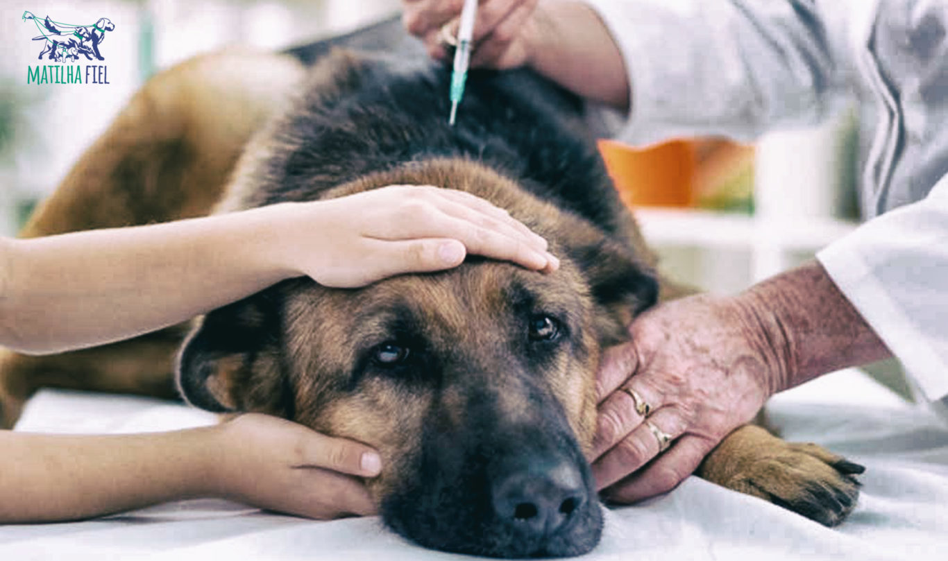 Diabetes Canina – O que é e como tratar
