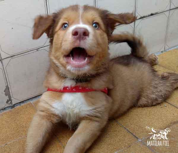 golden-retriever-pitbull