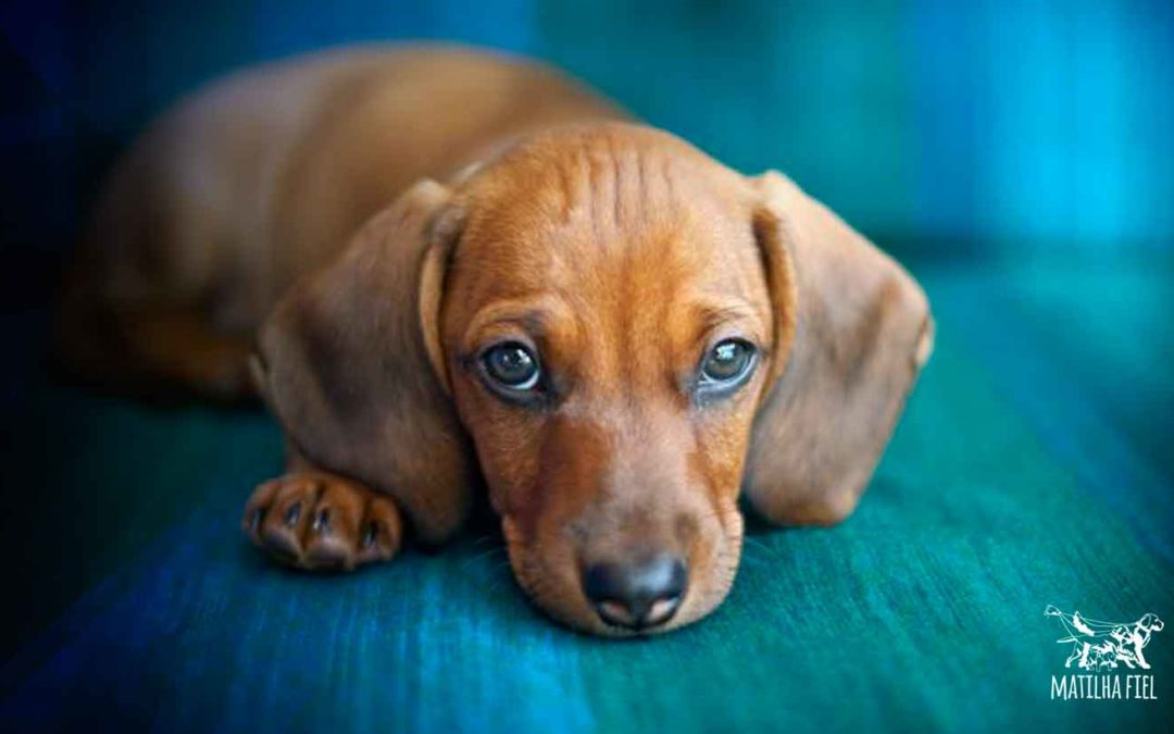 Seu cachorro chora à noite?