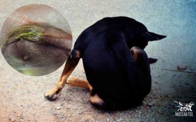 Secreção peniana canina – é bom você saber isso
