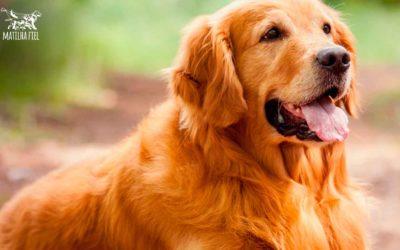 Bê-a-Bá Canino : Tudo sobre Golden Retriever
